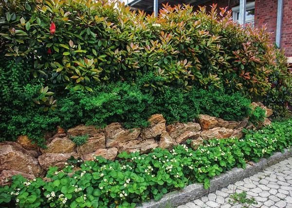 Делаем ставку на многоярусность: у ног фотинии (Photinia) растут спиреи, далее у основания каменной подпорной стенки цветет садовая земляника.