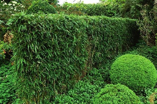 Фаргезия Муриеля (Fargesia murielae)
