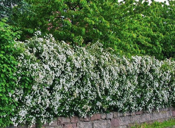 Цветущая стена: боярышник растет по периметру участка, а его цветки удачно оттеняют зеленый массив.